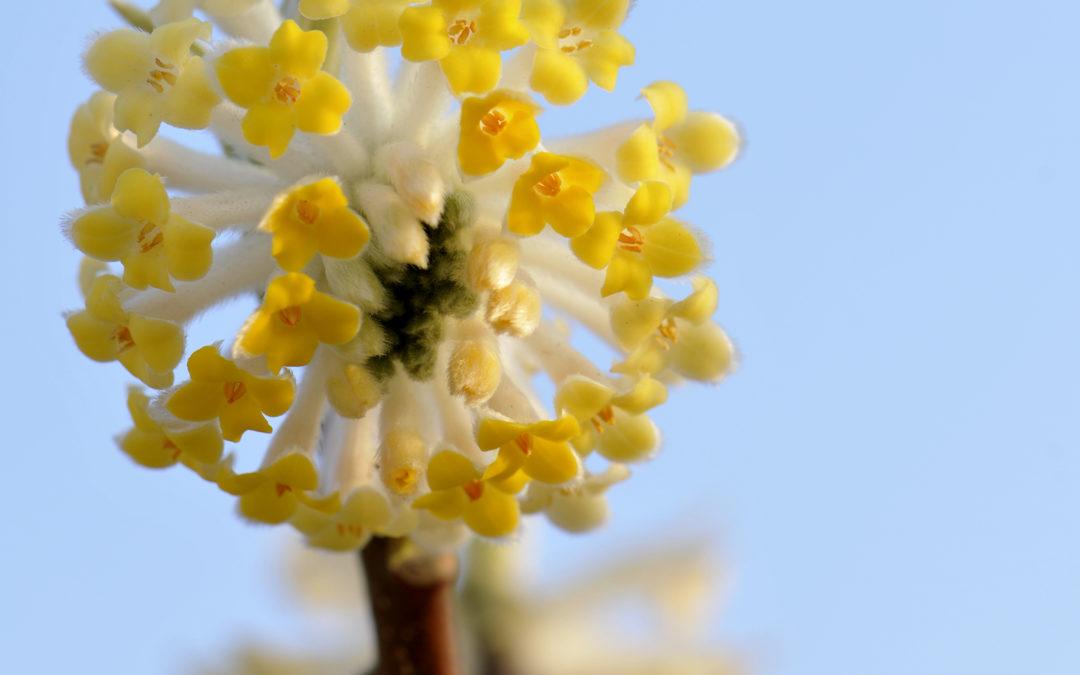 Edgeworthia ou buisson à papier