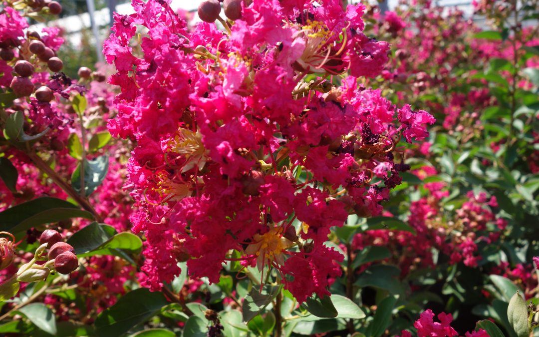 LAGERSTROEMIA, LILAS DES INDES