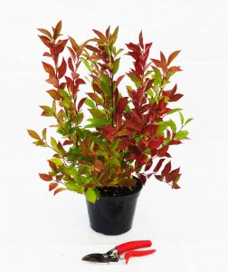 ITEA virginica LITTLE HENRY® C3