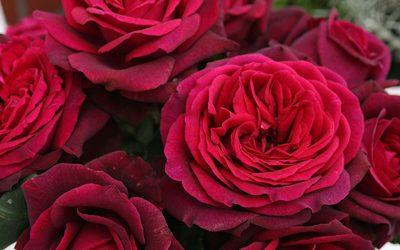 Les rosiers Kordes®